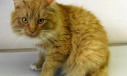 Breed: Domestic Long Hair - orange   Age: Adult   Sex: M   Size: L Berlin is a 2 1/2 year old domestic long haired male, neutered.   View this pet on Petfinder.com Contact: Lakeland Humane Society | Cold Lake, AB