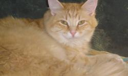 Breed: Domestic Long Hair - orange   Age: Adult   Sex: M   Size: M Copper is still being worked with to learn to trust humans again. A town trapped him and he was left in the same trap he was caught in for 5 days. Even though life and people have not been