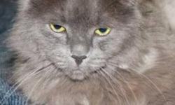 Breed: Domestic Long Hair-gray   Age: Adult   Sex: M   Size: M He's another mature soul, approximately 8 years old, originally from a free-to-good-home ad on Kijiji. The local family who took him, however, kept him for all of 48 hours before calling