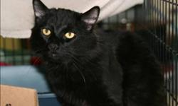 Breed: Domestic Medium Hair   Age: Adult   Sex: M   Size: M My name is Monte, and when I was first brought to the shelter, I was quite shy and reserved but who could blame me? I came in because I was injured with a large wound to the inside of one of my