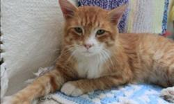 Breed: Domestic Medium Hair   Age: Adult   Sex: M   Size: M Hi there! When I came to the shelter I was very beat up and hungry. But the vet checked me all out and said I just needed some time to heal up and some good food and a nap! Now I am right as rain