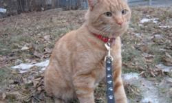Breed: Domestic Short Hair-orange Tabby - Orange   Age: Adult   Sex: M   Size: L Reggie is a 2 year old neutered male. He is very talkative and absolutely LOVES attention and hugs. He is the best cuddler and would love to have a comfy chair or a