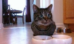 Breed: Domestic Short Hair Tabby   Age: Adult   Sex: M   Size: L this cat is not through Healing Animal SCARS program, we are just helping advertise for the woman who found him and rescued him, Candace. If you are interested in adopting him, please call