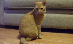 Breed: Domestic Short Hair Tabby - Orange   Age: Adult   Sex: M   Size: M Bart(holomew) and his brother Zach(ary) were left in a box, on my porch. They were both very thin and had fleas and worms and eye infections. They have become gorgeous kitties and