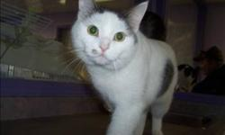 Breed: Domestic Short Hair   Age: Adult   Sex: M   Size: M Primary Color: White Secondary Color: Grey Age: 3yrs 0mths 2wks Animal has been Neutered   View this pet on Petfinder.com Contact: Abbotsford BC SPCA | Abbotsford, BC