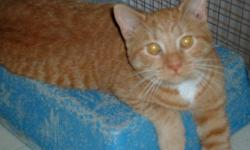 Breed: Domestic Short Hair-orange   Age: Adult   Sex: M   Size: M Poor Kipling got a urinary blockage and had to be hospitalized and have the crystals flushed out of his system - he is doing well now Kipling loves to have a perch ! He loves toys! and He
