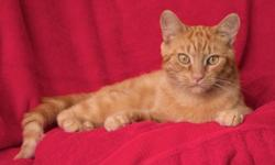 Breed: Domestic Short Hair-orange   Age: Adult   Sex: M   Size: M Mango is a beautiful orange tabby who is looking for his fur-ever home. Mango is about 4 years old. More info to come soon. Please email or call us with any questions in the meantime!