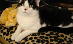 Breed: Domestic Short Hair   Age: Adult   Sex: M   Size: M Hello everybody, I am 7 months old. I am a very friendly boy, just a little shy until I get to know you.I have lived with other cats and dogs. I have not met children before, but I will be working