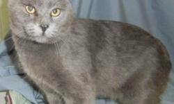 Breed: Domestic Short Hair   Age: Adult   Sex: M   Size: L Topaz is a neutered male approx 3-4 years old who has seen his share of incidents. He`s had his tail amputated due to an injury that got infected but he seems not to notice this to be an issue.