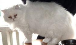 Breed: Persian   Age: Adult   Sex: M   Size: M Flocon (Snowflake) and Blanche are brother and sister Persian cats and were rescued from under a permanently closed store. Both appeared to have been left there for some time as their eyes were quite dirty