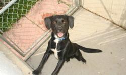 Breed: Beagle Labrador Retriever   Age: Adult   Sex: M   Size: M Hi there! I am pretty new over here. So far I seem to like female dogs, not so much male dogs. I do have a LOT of energy so I would need a pretty active home. Keep checking for more