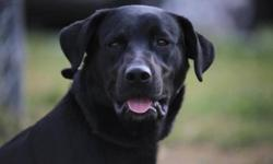 Breed: Black Labrador Retriever   Age: Adult   Sex: M   Size: L Beauty dog very very handsom,,very kind and lovng,,over all great dog check him out he's worth a look. Awsome attitude..   View this pet on Petfinder.com Contact: Cape Breton SPCA | Sydney,