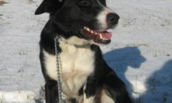Breed: Border Collie   Age: Adult   Sex: M   Size: M Blaze is a 3 year old Border Collie mix. He is good with other dogs and loves people. He has a great personality and lots of energy. Come and meet Blaze today. He would be a great addition to any