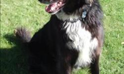 Breed: Border Collie Chow Chow   Age: Adult   Sex: M   Size: M Barley came to the shelter when his guardians were moving and couldn't take him with them. He is used to being outdoors but is housebroken. His previous guardians describe him as friendly,