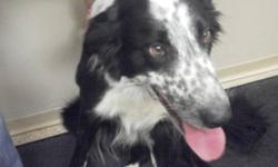Breed: Border Collie   Age: Adult   Sex: M   Size: L PHAROH - HIS SHELTER GIVEN NAME, WAS FOUND ON SEPTEMBER 12, 2011 AROUND THE PHEASANT ROAD IN NORTH LETHBRIDGE. PHAROH WILL BE AVAILABLE FOR ADOPTION IF HIS OWNER'S DO NOT CLAIM HIM BY SEPTEMBER 15,