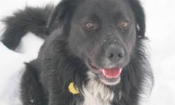 Breed: Border Collie   Age: Adult   Sex: M   Size: L Sam is a sweet, gentle boy who loves people, is great with kids, gets along with every dog he meets, and is very good with cats. Since being found as a stray and coming to his new foster home, Sam has