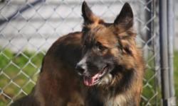 Breed: Shepherd   Age: Adult   Sex: M   Size: L Beautiful shepard collie mix..Friendly and playful looking for a new home..Shepard lovers heres a great dog.   View this pet on Petfinder.com Contact: Cape Breton SPCA | Sydney, NS
