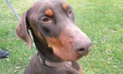 Breed: Doberman Pinscher   Age: Adult   Sex: M   Size: L Keon is a 3 year old and very active. He is great with other dogs and has lived with cats. He will need an owner who has the time to exercise him. In return Keon will cuddle with you. Please contact