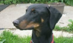 Breed: Doberman Pinscher   Age: Adult   Sex: M   Size: L Shorty - is approximately 2 years old, neutered male. He's up to date on all vaccines, good with kids and other dogs. Generally a really good guy. He's not short at all - he's average size for a
