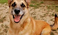 Breed: Shepherd   Age: Adult   Sex: M   Size: L Dutch is a 6 year old Shepherd cross who came to the shelter as a stray. He walks well on a leash and sits but he should attend obedience training to help him become a well mannered boy and help him with his