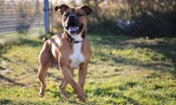 Breed: Boxer   Age: Adult   Sex: M   Size: L Beauty boxer..big power house dog...great shape.. needs some training..check him out..   View this pet on Petfinder.com Contact: Cape Breton SPCA | Sydney, NS