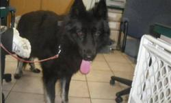 Breed: German Shepherd Dog   Age: Adult   Sex: M   Size: M Primary Color: Black Age: 2yrs 0mths 0wks   View this pet on Petfinder.com Contact: Surrey Branch BC SPCA   Surrey, BC