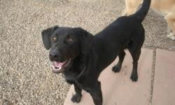 Breed: Labrador Retriever   Age: Adult   Sex: M   Size: L Hey there! So far they girls have noticed that I have plenty of energy behind me, love the company of other dogs an am sure handsome. I do need some manners, but for the most part am a really nice
