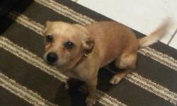 Breed: Chihuahua   Age: Adult   Sex: M   Size: S Oboe is a 2-3 year old Male Chihuahua Mix. We think he looks like a miny golden lab. Oboe is a smart, clean, quiet and loving boy. He loves to cuddle. Oboe enjoys walks and car rides. He is excellent with