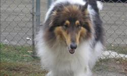 Breed: Collie   Age: Adult   Sex: M   Size: M Tye is a purebred rough collie who came to the shelter when his guardians were moving and couldn't take him with them. He is housebroken and knows basic obedience. He is used to being indoors and outdoors. He