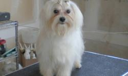 DOWN SIZING BREEDING KENNEL FEMALE AND MALE ADULT MALTESE WHITE COATS  GREAT TEMPERMENTS  ALL VACCINES AND DE-WORMED  NON SHEDDING AND HYPO ALLERGENIC.  GREAT COMPANIONS