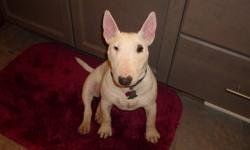 Smokie is a wonderful female miniature bull terrier and it deeply saddens us that she needs a new home due to drastic changes in family circumstances. She was purchased as a show prospect but really ended up being a great pet quality dog instead, she is