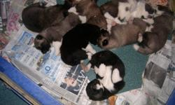Born Dec.08/2011Their are 3 female/6 males for sale.   NON aggressive BOTH parents are amazingly friendly with people, kids and other pets, these are great Akita parents. The puppies will come with first shots, vet. Checked, de wormed.   They will be