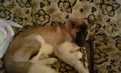 Male akita puppy 6 months old registered. Microchipped, house trained