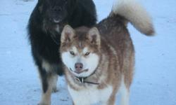 Giant Alaskan Malamute missing from Alberta! Benjamin is a yellow and white male, neutured friendly dog that vanished from his home near Falher Alberta on Thursday January 20, 2011. It is feared that Ben was abducted and is now been sold/given to persons