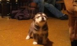 We have 6 puppies that have just turned 4 weeks old. we own the mom, she is a purebred alaskan malamute and their father is 3 quarter seberian with a touch of lab in him.(he belongs to our neighbour) This is Bailey's second litter, she had 8 puppies in