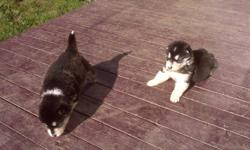 2 Male Pure Breed Alaskan Malamute puppies for sale. Ready to go to their new homes anytime after Oct 13th. Both mother and father on site. These puppies were raised in our home with other animals and children. They will be very large dogs and will make a