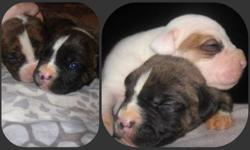 Our pride and joy *Star* had her first litter on Nov 9th 2011 a huge litter of 12 puppies.  7 males and 5 females.  These puppies are very smart and energetic and growing like you wouldnt believe.    Every puppy we sell is required to go to a permanent