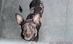 Luther is a beautiful 2 year old chocolate merle chihuahua x dashund. Luther is a sweet playful boy. He gets along great with other dogs (especially little ones) and cats. He is great with kids too as long as they are gentle with him. He loves to play