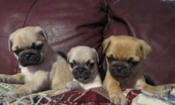 MOTHER WAS GIVEN TO US AND SHE LOOKS VERY MUCH LIKE A PUG AND IS EXCELLENT WITH CHILDRES DAD IS A FULL GORGEOUS PUG.AND IS EXCELLENT WITH CHILDREN. THESE PUPPIES WILL MAKE EXCELLENT FAMILY PETS AND WILL GROW TO BE AROUND 15-20LBS AND WILL BE LAP DOG SIZE