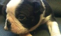 Beautiful Boston terrier pups. Great markings. Health guarantee and contract. Ready Christmas time. Come with utd vaccinations and healthcare. Dewormed Dew claws removed puppy starter pack plus much more. pups are Imprint trained. Well socialized. Box