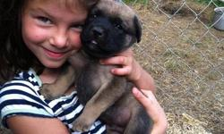 I am sending out this message in search of loving family homes for puppies that are beautiful and require caring people to raise them. I have reduced the price to $550.00 or B.O. per puppy. I have from the same litter two males and one female which are