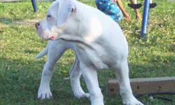"""Are Boy ! NEEDS a Forever loving Home, Would suit a mature couple who loves American bulldogs"""" He is house Trained, Crate Trained, 100% healthy"""" Has a Great Temperament, No trouble on lead.. Well socialized with other dogs & loves Kids !"""