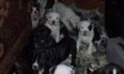 I am looking for kind caring families for my puppies, there are 12 puppies of various colors, They will be 8 weeks on jan 15 2012, both parents on site and pups will be de-wormed, have their first shots and be vet checked 1 week befor they are are ready