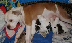 I have males and females available January 17th 2012! They will all be spayed/neutered, micro chipped, have 1st shot, been dewormed several times, registered and health guaranteed for 2 full years. Each puppy also comes with a blanket, toy, health record