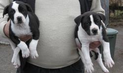 American Bulldog pups two available  1 male and 1 female left  vet checked and first shots, dewormed  Nice looking puppies