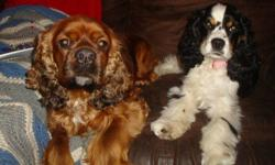 3 wonderful healthy babies Black and tan 2 sable Mom is a tri- colored American cocker spaniel that was imported from the USA Dad is a wonderful male American cocker spaniel he is a sable in color Both are breed with GREAT temperaments puppies will be