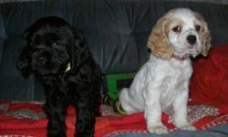 Cocker spaniel puppies ready to go.      Both sire & dam on site.      Wonderful temperaments. Great pets.      All males.        Have first shot & deworming.        Call 306-934-3940 Saskatoon for more info.
