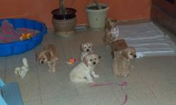 Adorable, cuddly, playful baby American cocker spaniels. They are full blood and have excellent temperment. Parents are on site to meet during viewing of puppies. They are ready to go to a new loving home. They are family oriented dogs who love children.