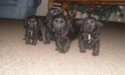 Beautiful American Cocker Spaniel Puppies. These pups have wonderful temperaments and will make great family pets as house dogs or even as outdoors dogs on the farm. For more information or to choose your puppy call Waldemar @ 204-823-0372