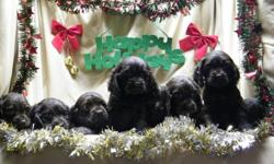 Ready December 12th, 2011....These adorable loving cocker spaniels would make the perfect choice for any family for xmas.They will have their first vaccinations and 2 dewormings, tails docked and a 1 year health gaurantee. price includes delivery anywhere